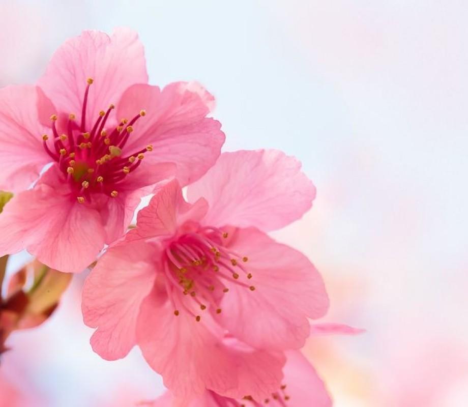 Коралловые цветы сакуры