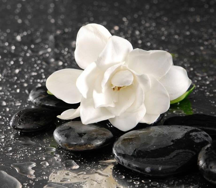 Белая роза на камнях