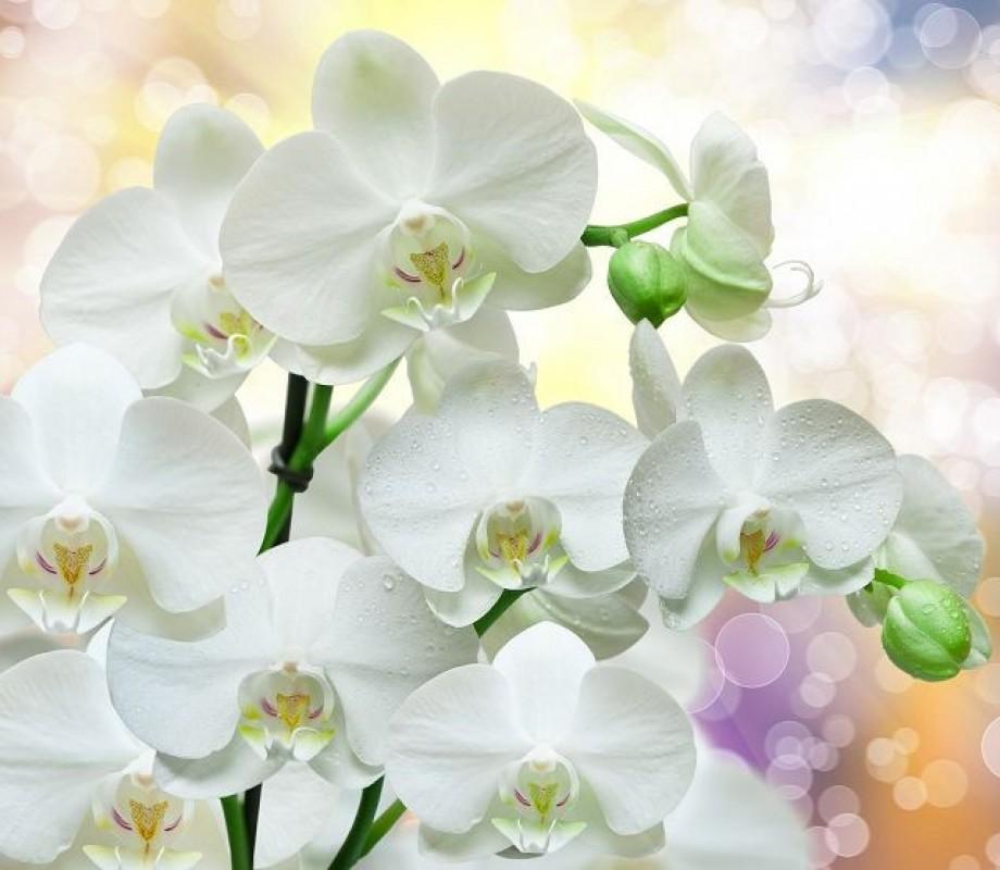 Белая орхидея в росе