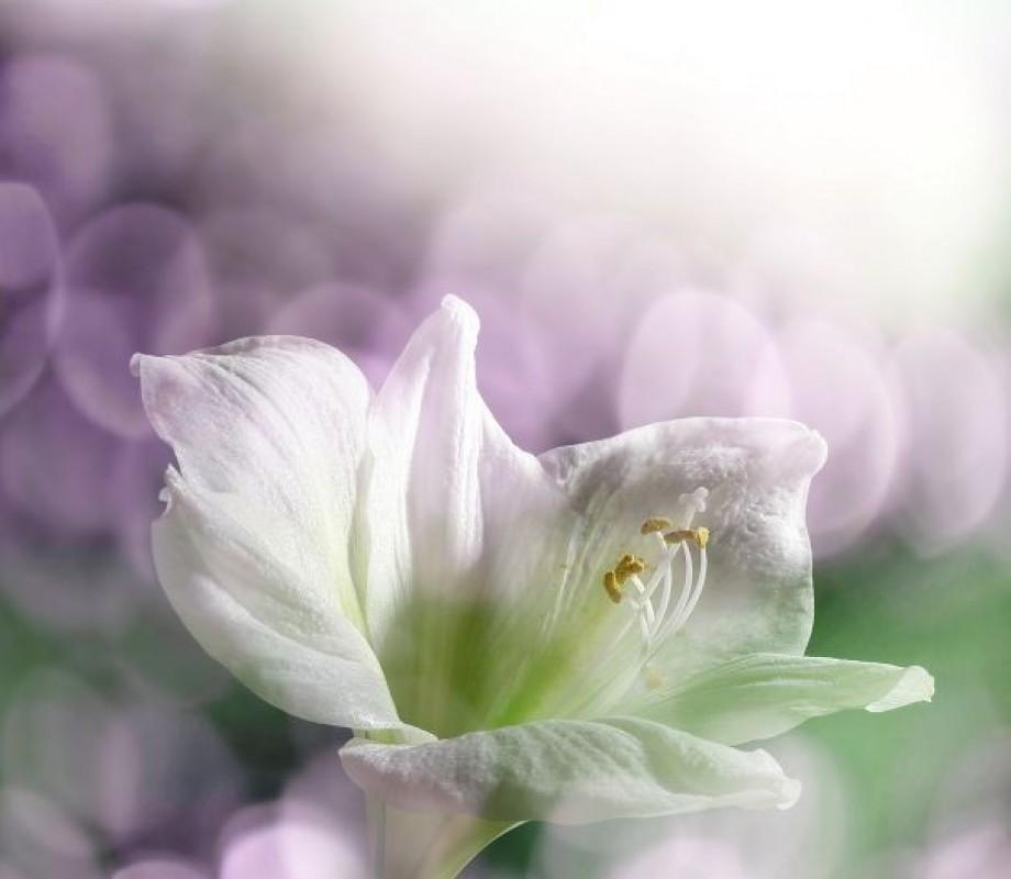 Белая лилия на фоне бликов
