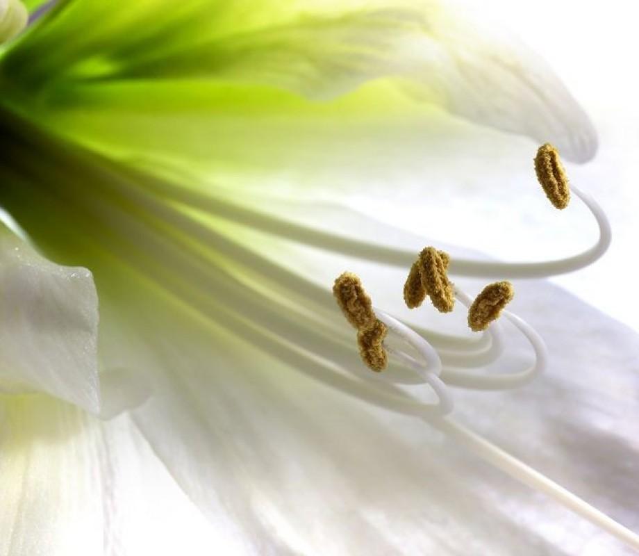 Белая лилия макро