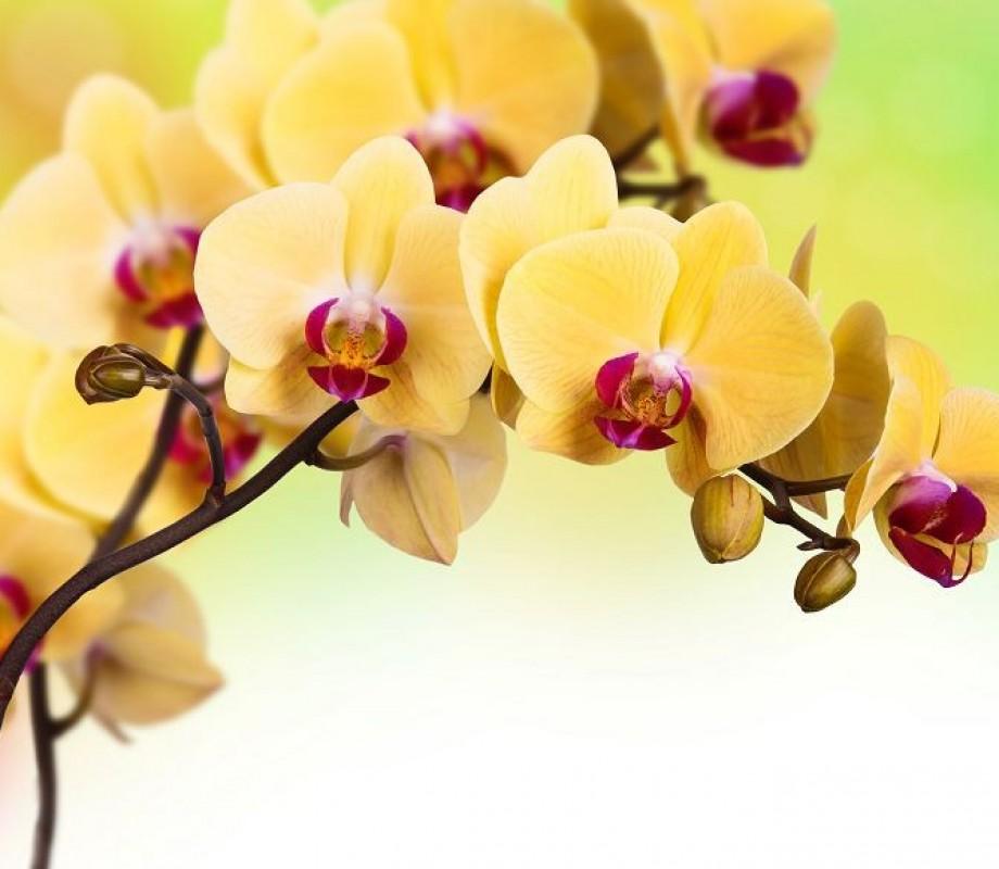 Абрикосовая ветка орхидеи