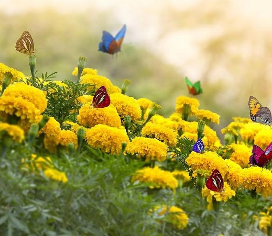 Бабочки на желтых цветах