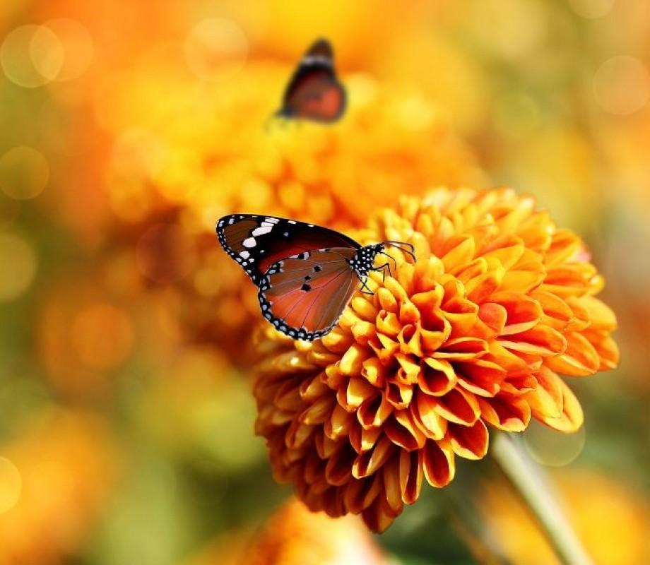 Бабочка на георгине