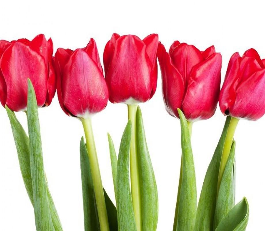Алые тюльпаны на белом